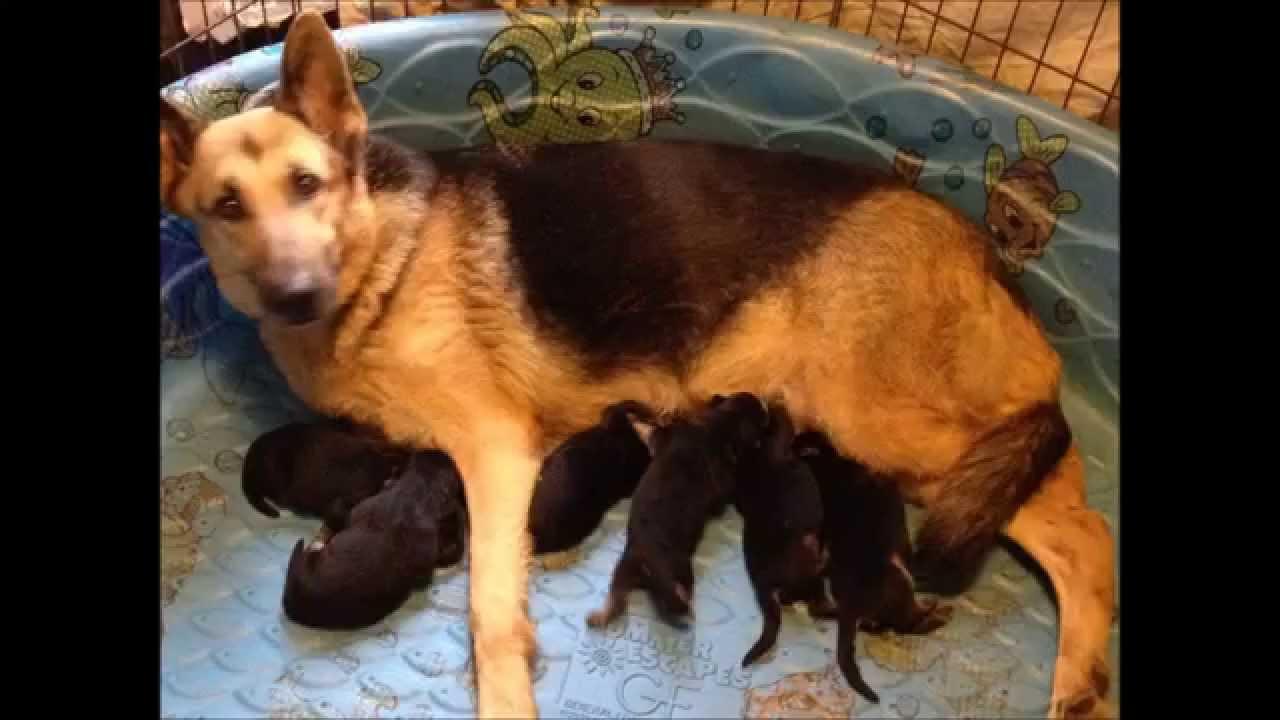 Akc German Shepherd Puppies For Sale In Fl Vom Barrons Pride Gsd 1