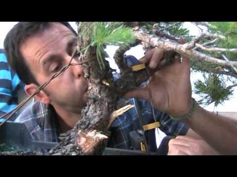 CLUB BONSAI LLEIDA video trabajo en pino
