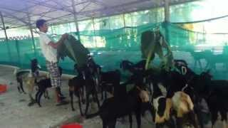 goat farm in kerala