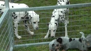 Australian Cattle Dog puppies, New Zealand. Wariwolf