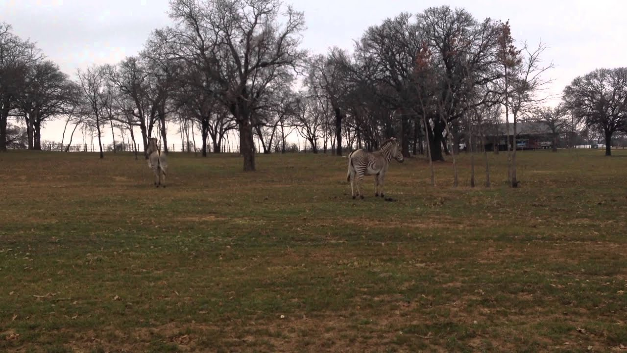 Zebras In Texas