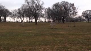 Zebras in Texas - Shows Some Zebra Behavior Similar to Horses - Zebra Talk