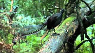 Lyrebird song - Stephen Powell Wildlife Artist thumbnail