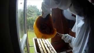 Abeilles : récupération de la colonie entre le volet et la fenêtre
