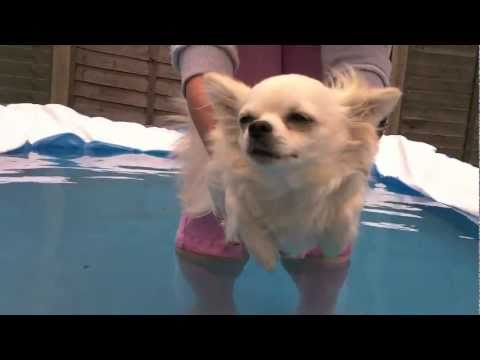 Chihuahua swimming in air...