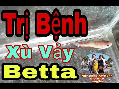Trị Bệnh Xù Vảy Cho Cá Betta| Không Phải Ai Cũng Biết