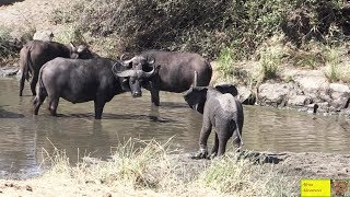 Cute Baby Elephant And Mother vs Buffalo Herd