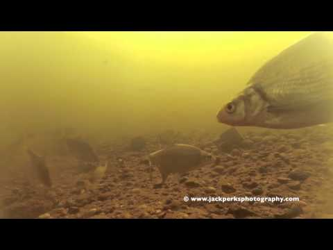 Bream & Roach at Newark on Trent Underwater