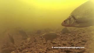 Bream & Roach at Newark on Trent Underwater