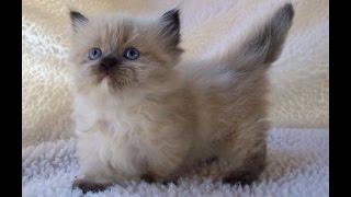 Кошки породы Мачкин