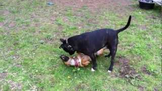 Staffordshire Bull Terrier Floyd Playing With Patterdale Toby.