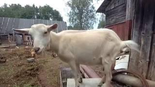 Психанул с сеном, про встречу старожила, козы
