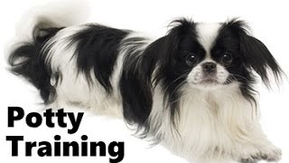 How To Potty Train A Japanese Chin Puppy - Japanese Chin House Training - Japanese Chin Puppies