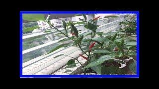 家裡陽台種辣椒,兩個小動作,辣椒結的壓滿枝!