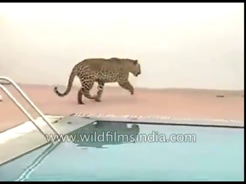 Leopard enters Bengaluru school, injures three by swimming pool