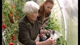Помидоры. Как сажать и выращивать томаты?(