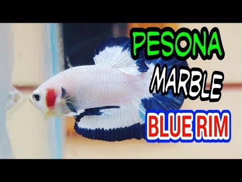 ikan cupang plakat marble blue rim - YouTube