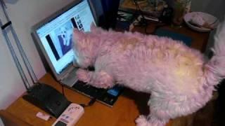 Westie Barking At.. Himself?