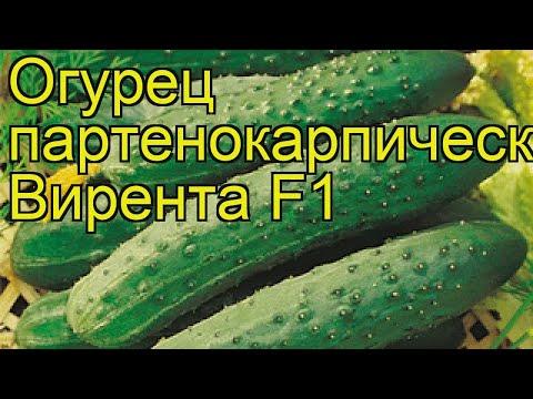 Огурец партенокарпический Вирента F1. Краткий обзор, описание характеристик cucumis sativus