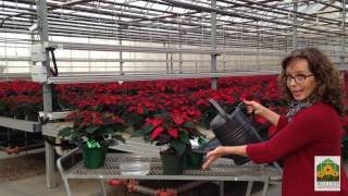 Perfect Poinsettia Plant Care In 3 Easy Steps Wallish Greenhouses