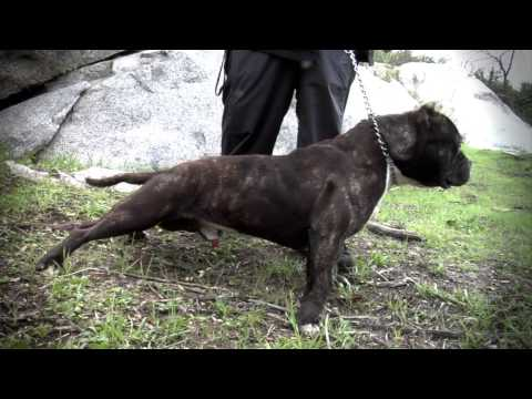 AMERICAN BULLY KENNEL - MONSTER PIT KENNELS #TBT
