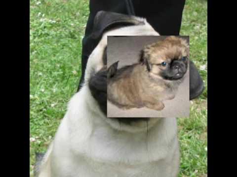 Pug Crossbreeds
