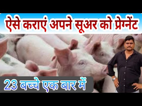 सूअर को प्रेग्नेंट कराने का सही तरीका Right Way Of Pig Crossing !! Suar Palan !! - Agritech Guruji