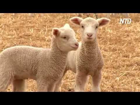 Шерсть из Австралии: спрос растёт, но засуха губит скот