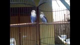 duet maut love bird violet