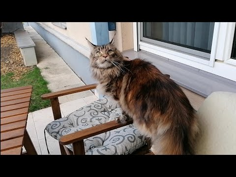 Maine Coon Cat Orinoco at home