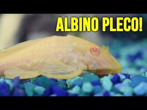 NEW Albino Pleco And Telescope Eye Goldfish!