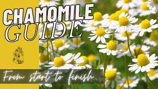 How to Grow Chamomile from Seed - Planting Chamomile Cut Flower Gardening for Beginners