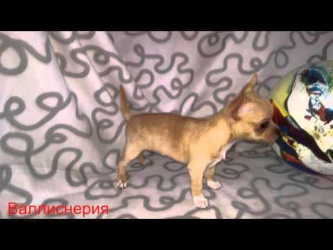 Предлагается самая маленькая наЗемле  декоративная собачка.