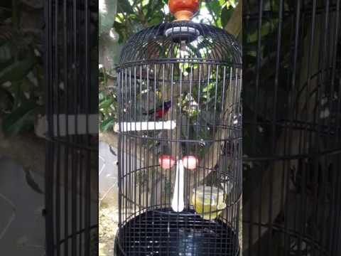 Kolibri ninja ribut