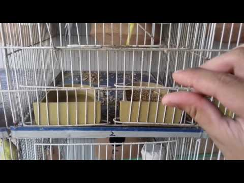 BIRDS KO ANTIBIOTIC DENE KA TAREEKA |HOW TO GIVE ANTIBIOTICS TO YOUR BIRDS