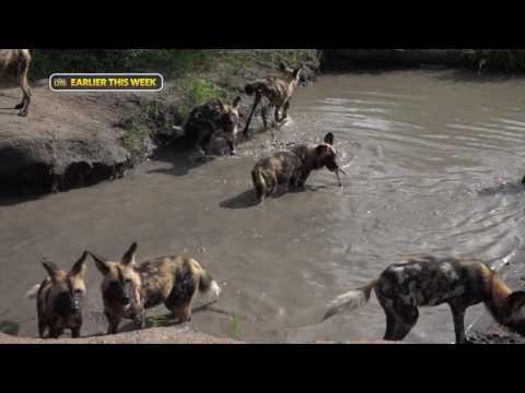 safariLIVE - Sunrise Safari - Feb. 06, 2017 - Nat Geo WILD Ep. 6