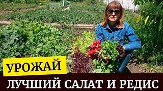 🌱Обзор урожая разных сортов салата и редиса🌱