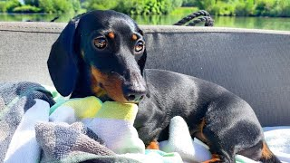 Loulou's Diary 11| Dachshund on board.