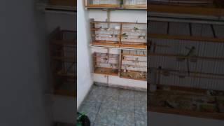 CRIAÇÃO DE PINTASSILGO EM GOIANIA (GO) CRIATORIO VANILLA (VIDEO 25) DA TEMPORADA 2016/2017