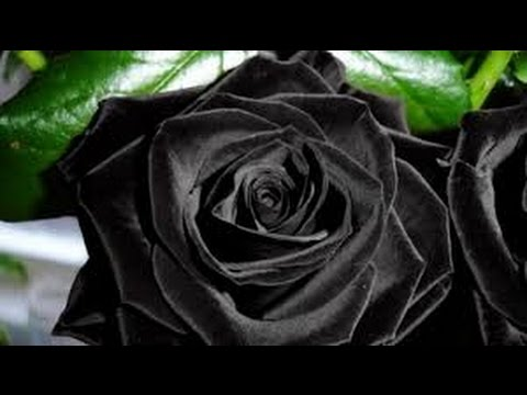 the rose auf deutsch