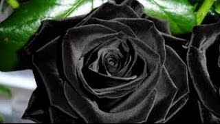 The Black Rose - ganzer Film auf Deutsch