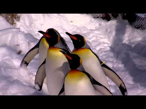 King Penguins Love the Cold and Snow - Cincinnati Zoo