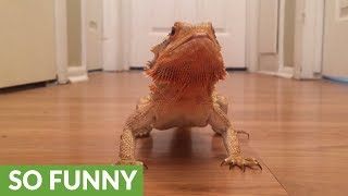 Bearded dragon super excited for hornworms