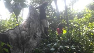 Bois illégal en RDC : une grume illégale d
