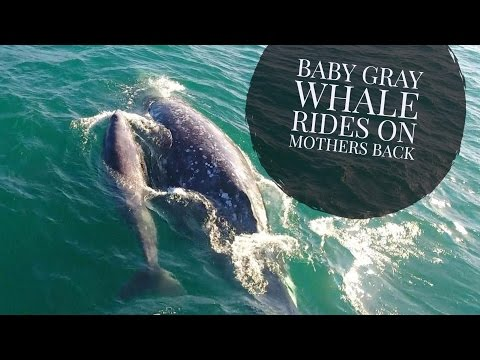 Baby Gray Whale Whale Rides On Mothers Back