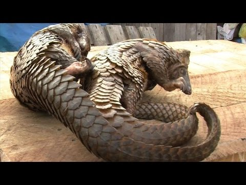 Gabon's pangolins poached because of Asian demand