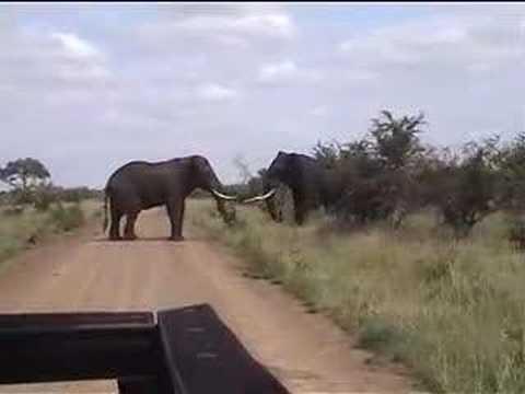 elephant fight CAM2