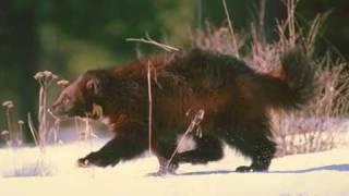 7 epic battle Wolverine v Wolf / 7 битв Росомаха против Волка