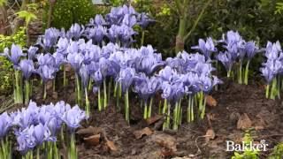 Iris : Croissance d'une plante en accéléré