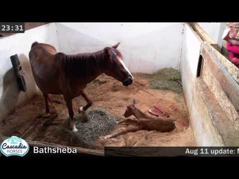 Caspian mare, Bathsheba gives birth to red dun colt, Zerin
